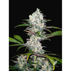 SOUTH MOUNTAIN CHEESE (1) 100% XTREME SEEDS