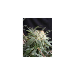 MALIBU (1) 100% THE KUSH BROTHERS SEEDS