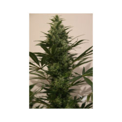 LANGUI KUSH (1) 100% THE KUSH BROTHERS SEEDS