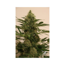 PANDEMIA KUSH (1) 100% THE KUSH BROTHERS SEEDS