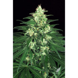 LEMON CANDY (3) 100% EXOTIC SEED