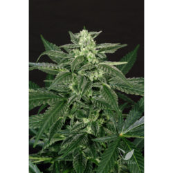 TRIPLE A AUTO (3) EXOTIC SEED