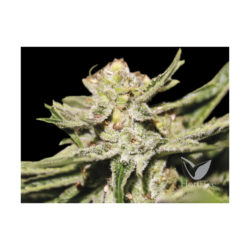 DOBLE W (1) 100% EXCLUSIVE SEEDS BANK
