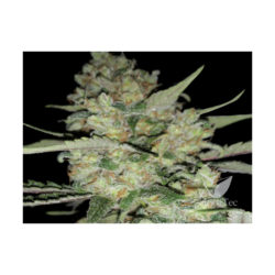 AUTO CRITICAL (1) 100% EXCLUSIVE SEEDS BANK