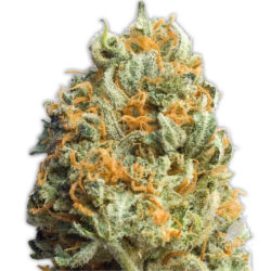 FULLY LOADED AUTO (3) 100% HEAVYWEIGHT SEEDS