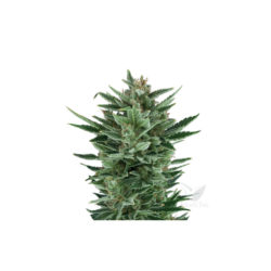 QUICK ONE AUTOMATICA (1) ROYAL QUEEN SEEDS