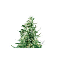 ROYAL CRITICAL AUTOMATIC (1) ROYAL QUEEN SEEDS