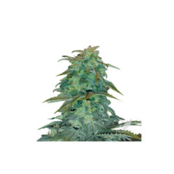 ROYAL HAZE AUTOMATIC (1) ROYAL QUEEN SEEDS