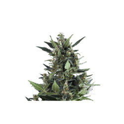 AUTO BLUE CHEESE (1) ROYAL QUEEN SEEDS
