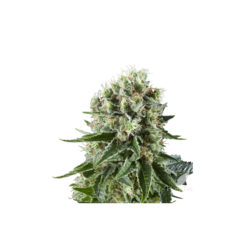 CRITICAL KUSH (1) 100% ROYAL QUEEN SEEDS