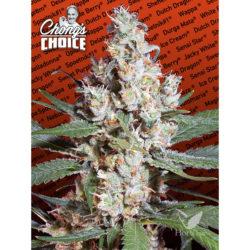L.A AMNESIA (3) 100% PARADISE CHONGS CHOICE