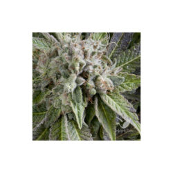 AUTO BLUE PYRAMID (1) 100% PYRAMID SEEDS