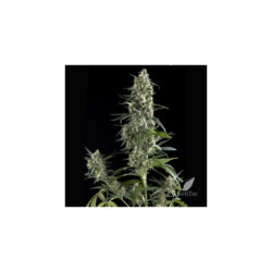 AMNESIA GOLD (1) 100% PYRAMID SEEDS