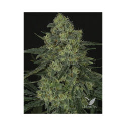 CRIMINAL + (1) 100% RIPPER SEEDS