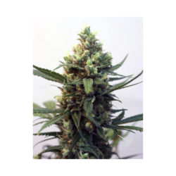 TOXIC (1) 100% RIPPER SEEDS