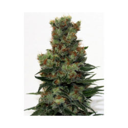 RIPPER BADAZZ (12) REGULAR RIPPER SEEDS