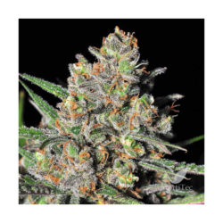 GREEN LOVE POTION(1) 100% SAMSARA SEEDS