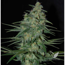 SWEET BLACK ANGEL (1) 100% SAMSARA SEEDS