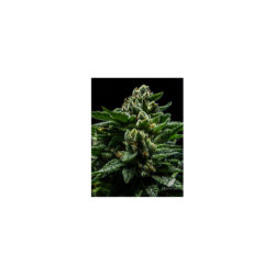 Do-g (1) 100% ripper seeds
