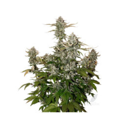 Candy dawg (3) auto seed stockers