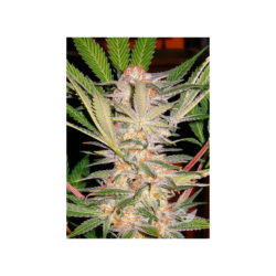 S.A.D. F1 FAST VERSION (3) 100% SWEET SEEDS
