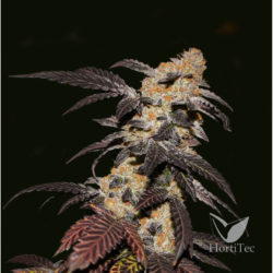FRENCH COOKIES (5) 100% T.H SEEDS 1