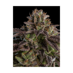K-mintz (1) 100% ripper seeds