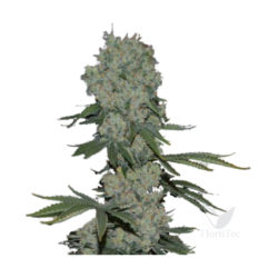 ENEMY OF THE STATE (3) 100% SUPER STRAINS