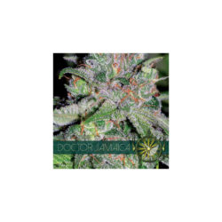 Doctor jamaica (3) 100% vision seeds