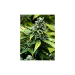 EARLY WIDOW (BLISTER 10 IND) 100% ADVANCED SEEDS
