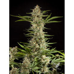 FRAGGLE SKUNK AUTO (1) 100% PHILOSOPHER SEEDS 1