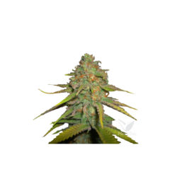 O.G. KUSH (1) 100% ROYAL QUEEN SEEDS