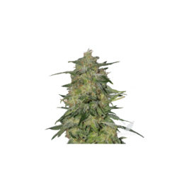 ROYAL HIGHNESS CBD (1) 100% ROYAL QUEEN SEEDS