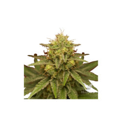 ROYAL DOMINA (1) 100% ROYAL QUEEN SEEDS